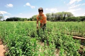 Plantes de stevia bio