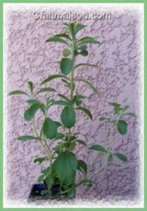 La stévia, plante sucrée, édulcorant naturel bio