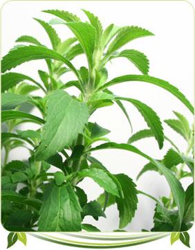 stevia rebaudiana biologique plante culture