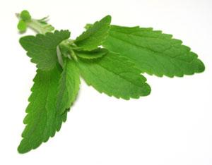 stevia rebaudiana biologique plante culture conseil